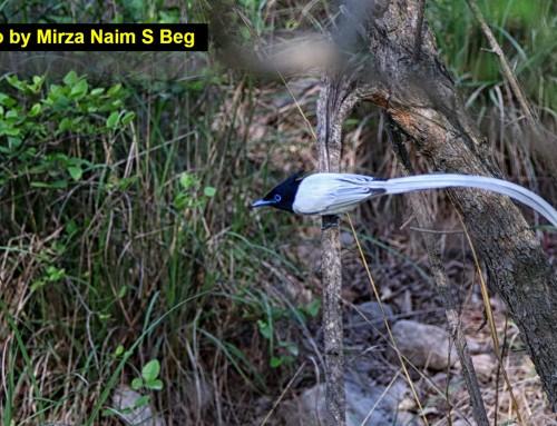 Paradise Flycatcher Male Margalla Hills, Islamabad Pakistan.
