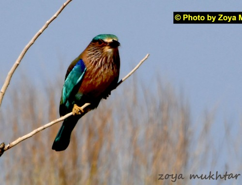 Indian Roller at Kirthar National Park.
